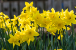 Plant of the Week: Daffodils