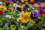 Plant of The Week: Pansy and Viola