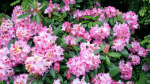 PLANT OF THE WEEK: RHODODENDRON