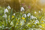PLANT OF THE WEEK: SNOWDROPS