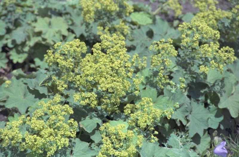 fraaie vrouwenmantel - guide des plantes - groendekor tuincentrum bvba