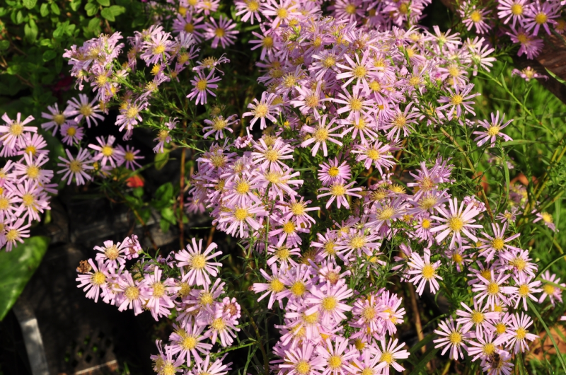 Aster guide des plantes famiflora le plus grand for Plantes belgique