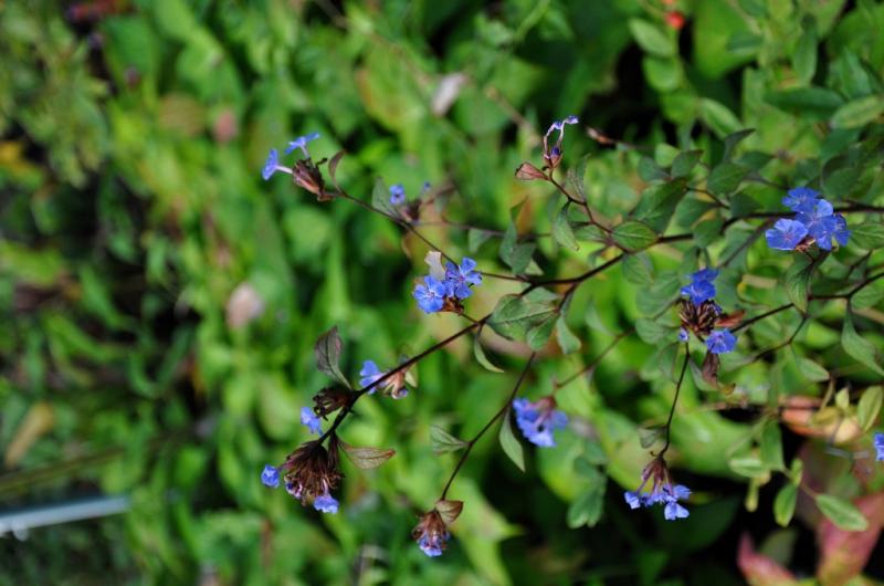 Loodkruid guide des plantes famiflora le plus grand for Plantes belgique