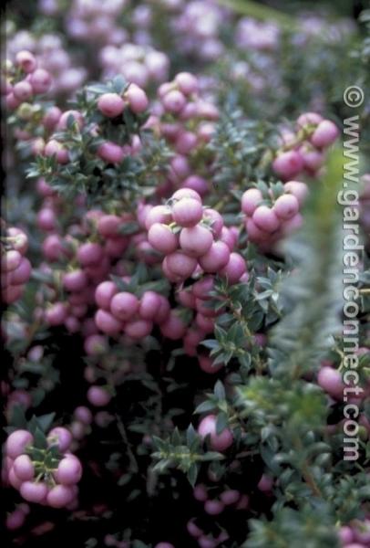Pernettya Mucronata Rosea.Prickly Heath Plant Finder Knights Garden Centres