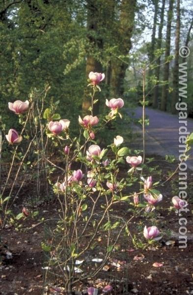 Magnolia Plantguide Ransoms