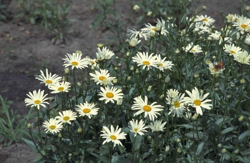 Witte Vaste Planten.Margriet Plantengids Groenrijk