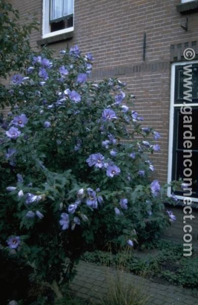 Rose Of Sharon Plantguide Forest Garden Centre Matlock