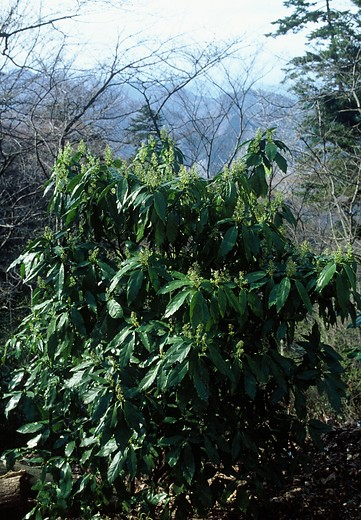 Japanese laurel Plant finder Knights Garden Centres