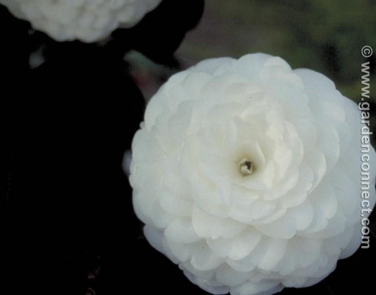 Camellia plant finder knights garden centres camellia mightylinksfo