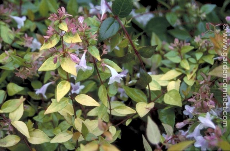 Glossy Abelia Plantguide Ransoms