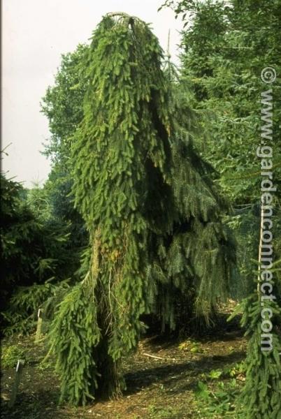 Spruce Plantguide Haslemere Garden Centre