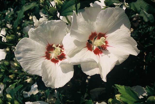 Rose Of Sharon Plantguide Haslemere Garden Centre