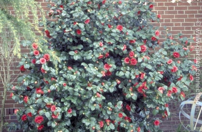 Camellia Plant Finder Knights Garden Centres