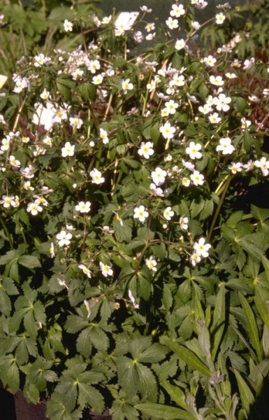 Witte Vaste Planten.Witte Boterbloem Plantengids Plantenmaes
