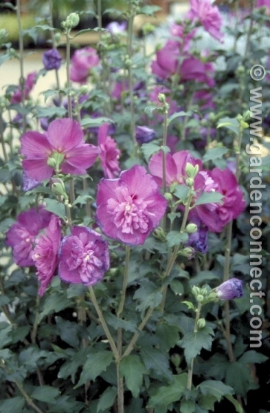 Rose Of Sharon Plantguide Fillpots Garden Centre Colchester Essex