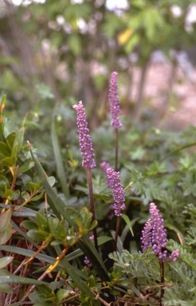 Leliegras Plantengids Groenrijk